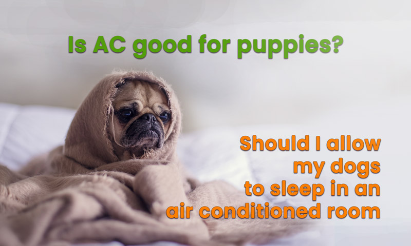 Is AC good for puppies:  Should I allow my dogs to sleep in air-conditioned ?