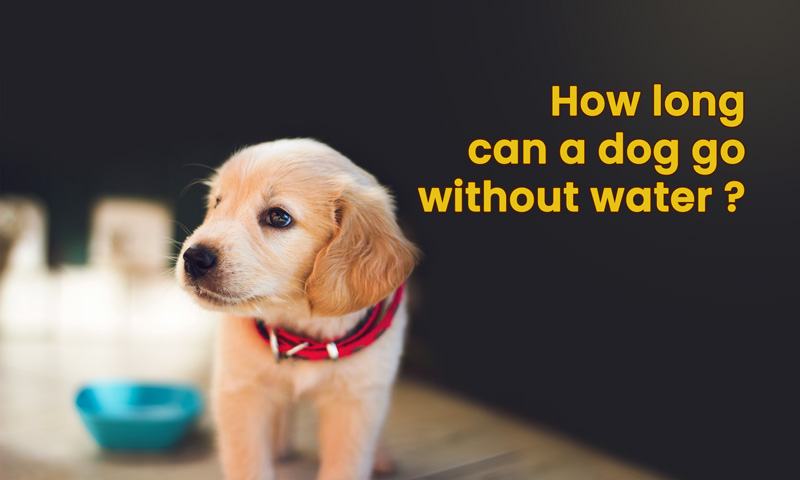 How long can a dog go without water ?
