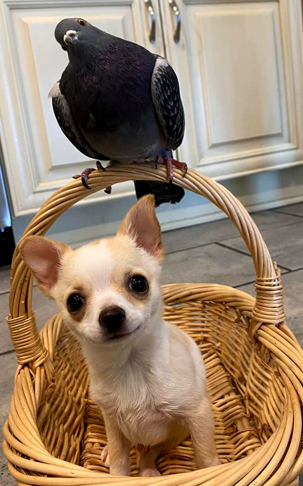 Flightless pigeon and crippled Chihuahua show that love