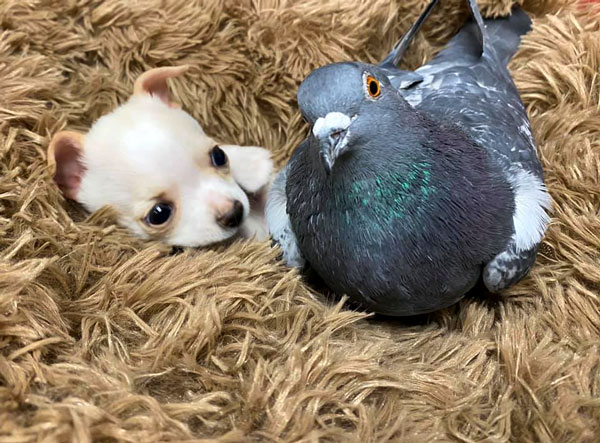 True friendship flightless pigeon and puppy 2