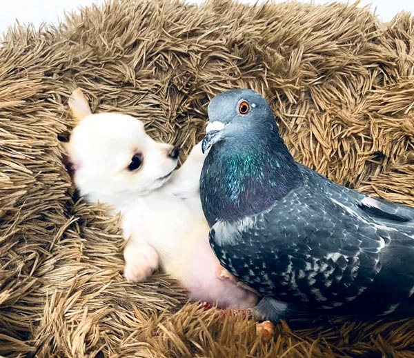 True friendship flightless pigeon and puppy 3