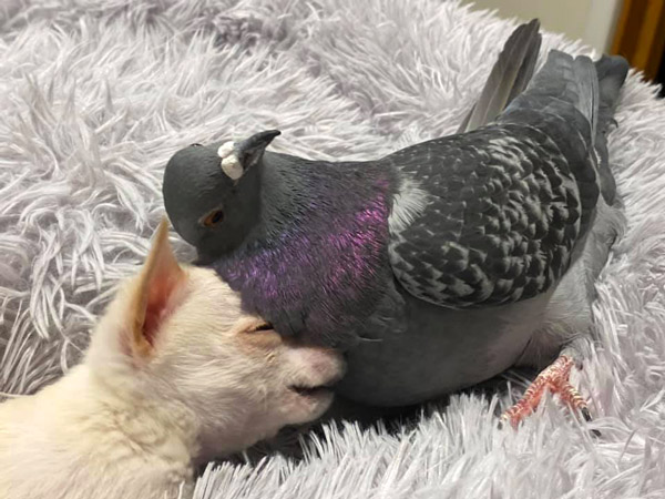 True friendship flightless pigeon and puppy