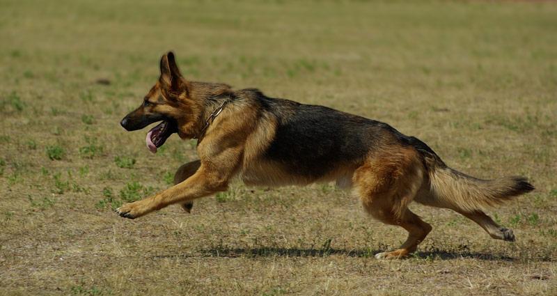 running with german shepherd