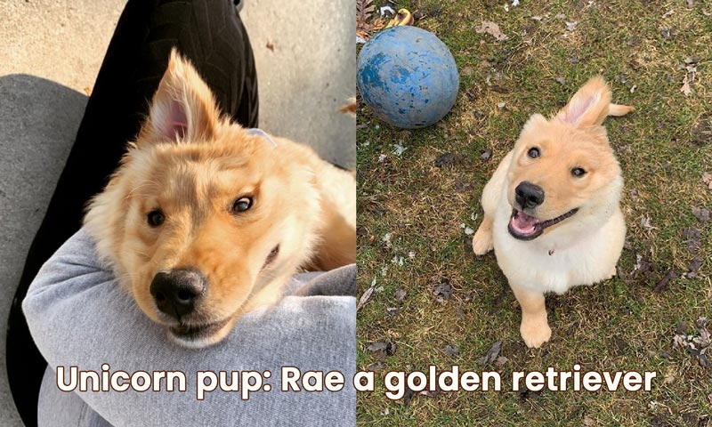Unicorn pup: Rae a golden retriever – with a single ear in the middle of her head