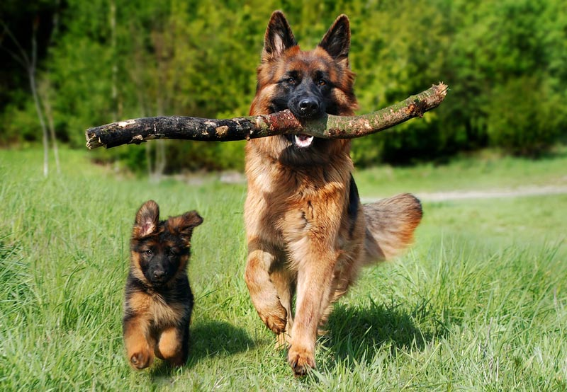 what age german shepherd puppies like going for runs