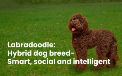 Labradoodle: hybrid dog breed- smart, social and intelligent
