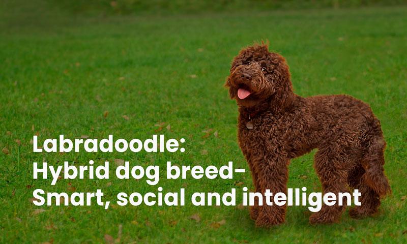 Labradoodle: hybrid dog breed- smart, social and intelligent