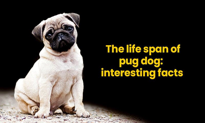 The life span of pug dog: interesting facts