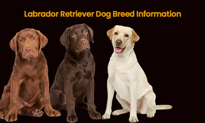 Labrador Retriever: called labs are excellent guide dogs as well as a wonderful pet dog in nature